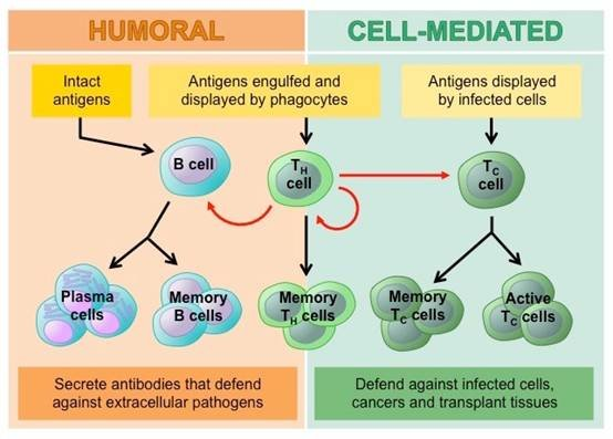 Immune cell anti - tumor therapy
